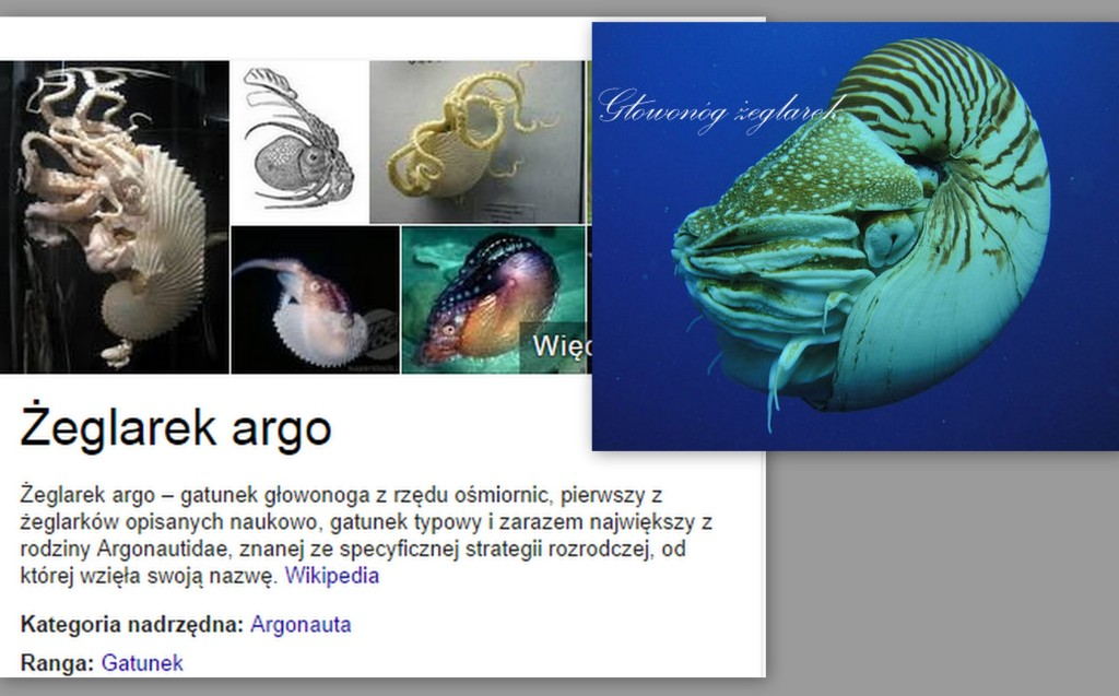 głowonogi żeglarek